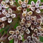milkweed by vigor