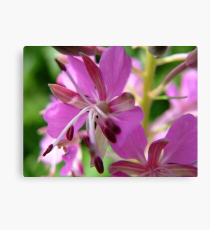 Close-up Willow Herb Canvas Print