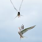 Common terns by Steve  Liptrot