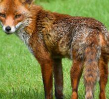 Fox in a Kentish garden Sticker