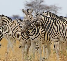 Zebra - African Wildlife Background - Love to Feel by LivingWild