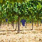 Red grapes at Saint Tropez vineyard, France by Bruno Beach
