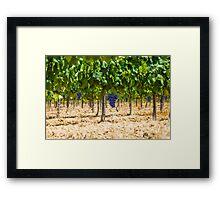 Red grapes at Saint Tropez vineyard, France Framed Print