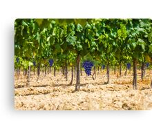 Red grapes at Saint Tropez vineyard, France Canvas Print