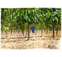 Red grapes at Saint Tropez vineyard, France Poster