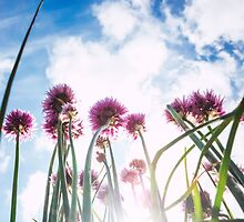 chives under sky by novopics