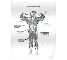 Muscle Diagram (Back View) Poster
