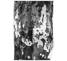 bark of a Platanus  Poster