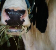 Cow Mouth Chewing Sticker