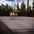 Stone Sheep Along the Alaska Highway by Yukondick