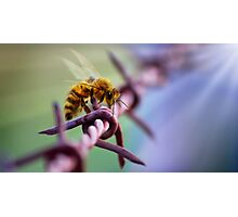 Barb Wire Bee Photographic Print