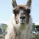 An Irish llama by Agnes McGuinness