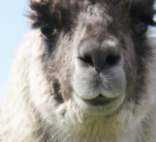 An Irish llama Sticker