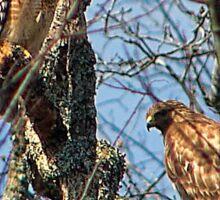 Pair of Hawks Sticker