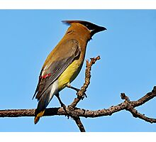 Cedar Waxwing on a Limb Photographic Print