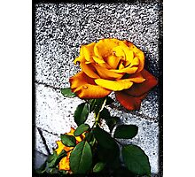 Late Summer Rose - Sunshine Photographic Print
