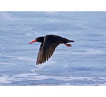 SHOREBIRD ~ Sooty Oystercatcher by David Irwin Photographic Print