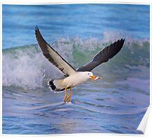 MARINE BIRD ~ Pacific Gull by David Irwin Poster