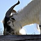 Goats on the Roof by Leanne Stewart