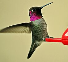 MALE HUMMINGBIRD ANNA'S IN ANGEL WING POSE by JAYMILO