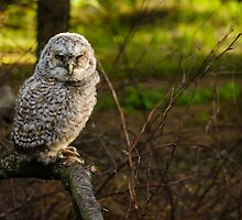 Young owl by Mark Williams