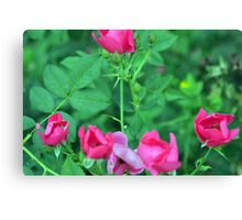 Beautiful delicate pink roses on green leaves background. Canvas Print