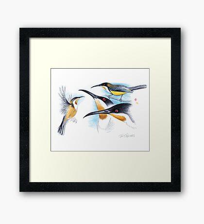 Eastern Spinebill Framed Print