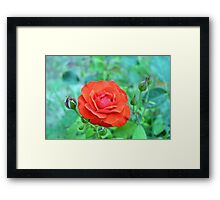 Red rose on natural background with green leaves. Framed Print