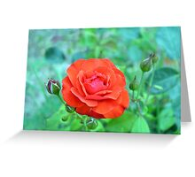 Red rose on natural background with green leaves. Greeting Card