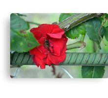 Red rose on natural background with green leaves. Canvas Print
