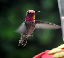 MALE ANNA'S HUMMINGBIRD IN FLIGHT by JAYMILO
