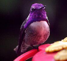 PROUD MALE COSTA'S POSING ON THE FEEDER PERCH by JAYMILO