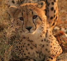 Cheetah by Jo  McCarthy