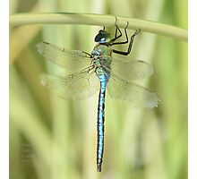 """"""" Emperor Dragonfly """" Photographic Print"""