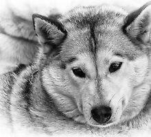 Husky by ChrisCouse