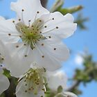 cherry_blossom_spring_flower by abeer hassan