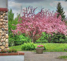 Apple Tree by Jim Sauchyn