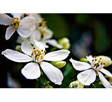 White Choisya flowers Photographic Print