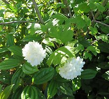 White Flowers from the Pacific Northwest by jkmarshall