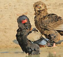 Bateleur Eagle - African Wildlife - Animal Parents by LivingWild