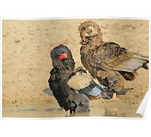 Bateleur Eagle - African Wildlife - Animal Parents Poster