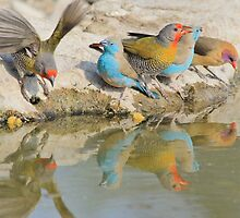 Colorful Birds from Africa - Flutter of Beauty by LivingWild