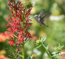 Ruby Throated Hummingbird 2016-3 by Thomas Young