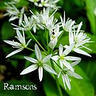 Ramsons - card by © Kira Bodensted