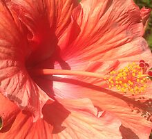 Orange Hibiscus by KimSyOk