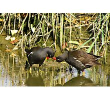 the sweetness and love of a pair of moorhens Photographic Print