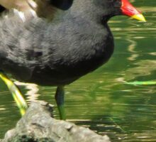 Moorhen on a branch in the river Sticker