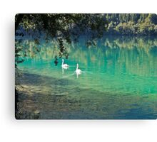 swans on the 'clear water of a lake (Italy) Canvas Print