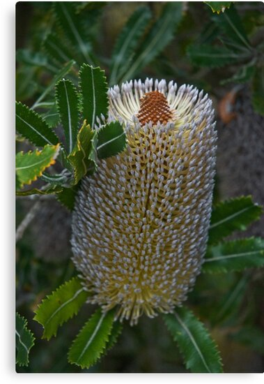 Old Man Banksia by garts