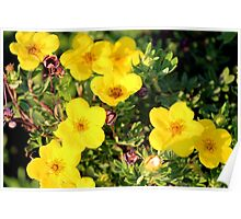 Shrubby Cinquefoil - Dasiphora fruticosa subsp. floribunda (Pursh) Kartesz Poster